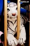 lustige Fotos zu  Männer, Tiger, Knast