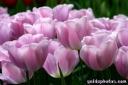 witzige-sprueche-ostern-tulpe-09